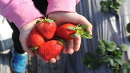 קטיף תותים - המומלצים של לגדול