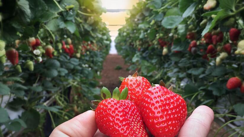 אגרונן קטיף תותים, פעילות לפסח 2021 - לגדול