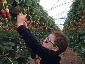 אגרונן קטיף תותים ופטל שחור בגדרה- אתר לגדול