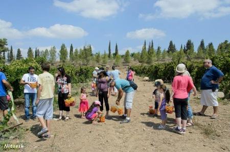 סיור הכרם בלכיש בציר ענבים