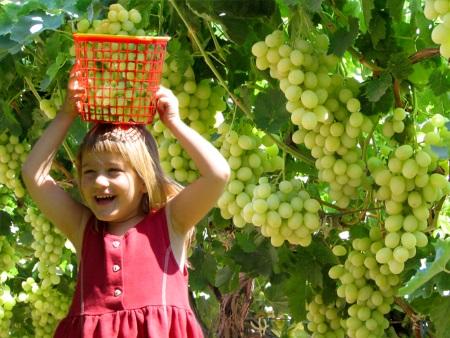 קטיף ענבים בכרם לכיש