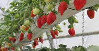 רוח שתות קטיף תותים, לגדול