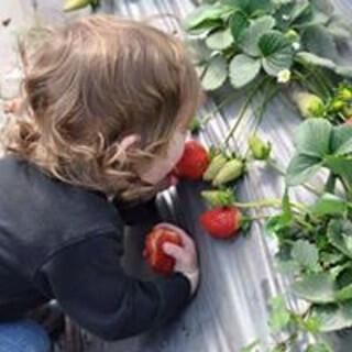 קטיף תותים בגן שמואל