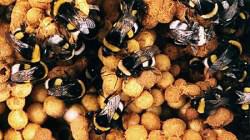דבורת הבמבוס-ביו תור שדה אליהו