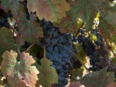 בל עפרי יקב יינות
