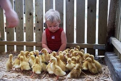 ברווזים בכפר – פלא היווצרות חיים