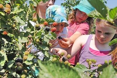 קטופותי - אטרקציות לילדים בבית לחם הגלילית, ילדים קוטפים מפירות העונה