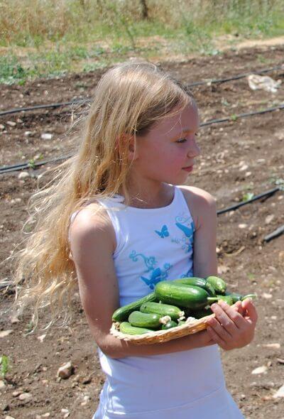 קטופותי חוויה חקלאית בבית לחם הגלילית בצפון הארץ. קטיף מלפפונים טריים והסבר חקלאי מותאם לכל גיל