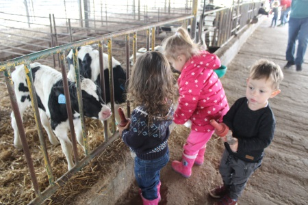 משק ברגר חליבת פרות