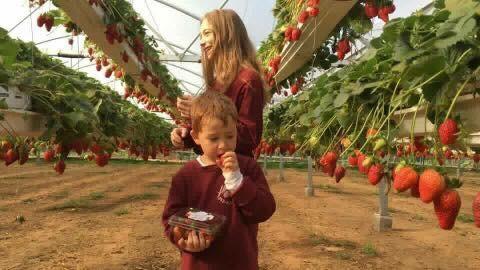 אגרונן קטיף תותים