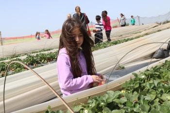 קטיף תותים עצמי, חזי ניסים קטיף תותים- אתר לגדול