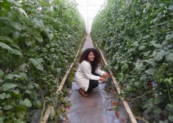 המונשרי קטיף עצמי של עגבניות שרי