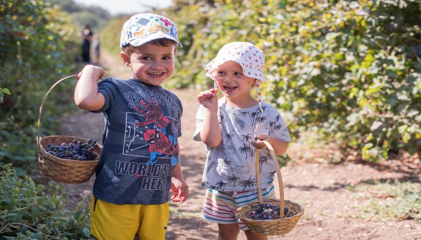 ילד קוטף ענבים בימשק אופיר פעילות לכל המשפחה, לגדול